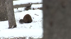Stock Video Footage of Pine Marten Lone Fall