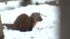 Pine Marten Lone Feeding Fall Cache Stock Footage