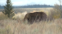 Moose Bull Adult Lone Breeding Fall Phleming Stock Footage