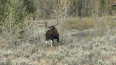 Moose Bull Adult Lone Breeding Fall Antlers Stock Footage