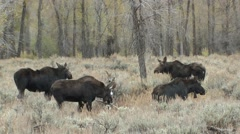 Moose Bull Cow Herd Fall Stock Footage