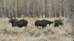 Moose Cow Adult Young Fall - stock footage