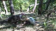 Turkey Vulture Adult Lone Feeding Fall Carrion Scavenger Stock Footage