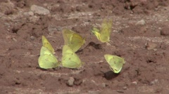 Sulphur Several Feeding Fall Mud Minerals - stock footage