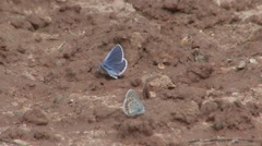 Blue Pair Feeding Fall Mud Minerals - stock footage