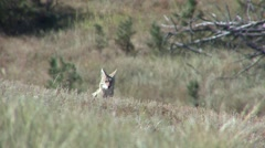 Coyote Lone Calling Fall Bark Yip Stock Footage