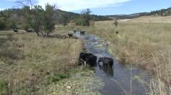 Land Use Black Hills Fall Cattle Cows Water Quality Stream - stock footage