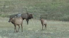 Elk Bull Cow Adult Several Breeding Fall Bugle Call Rut Stock Footage