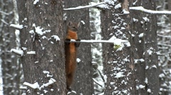 Pine Marten Adult Lone Alarmed Fall Slow Motion Stock Footage