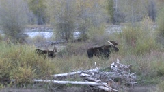Moose Bull Adult Pair Fall Zoom In Stock Footage