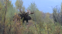 Moose Bull Adult Lone Fall Ground Level Stock Footage