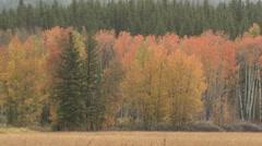 Trees & Shrubs Grand Teton National Park Fall Aspen Birch Autumn Colors Leaves Stock Footage
