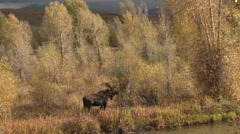 Moose Bull Adult Lone Breeding Fall Zoom In Stock Footage