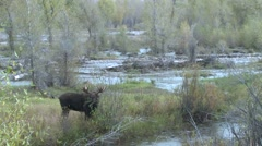Moose Bull Adult Lone Feeding Fall Stock Footage