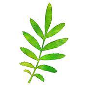 autumn watercolor rowan leaf, vector illustration - stock illustration