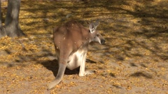 Red Kangaroo Female Adult Young Joey Pouch Stock Footage