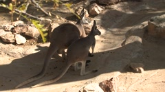 Red Kangaroo Pair Stock Footage