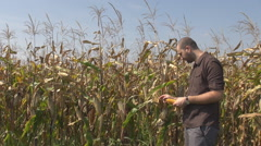 Man checking corn crop in summer season, harvest agriculture cereals farmer work Stock Footage