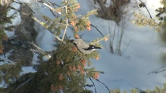 Clarks Nutcracker Adult Lone Feeding Winter - stock footage
