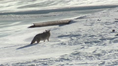 Coyote Male Adult Lone Urinating Winter Wind Snow Flurries Stock Footage