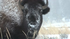 Bison Lone Feeding Winter Blizzard Snow Hide Insulation Stock Footage
