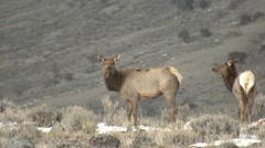 Elk Herd Winter Zoom Out Stock Footage