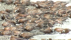 Gray-crowned Rosy-finch Flock Feeding Winter Stock Footage