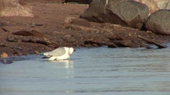 Ring-billed Gull Lone Grooming Spring Stock Footage