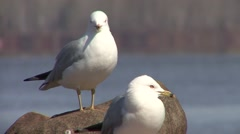 Ring-billed Gull Pair Spring Stock Footage