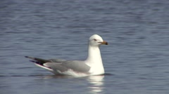 Ring-billed Gull Lone Swimming Spring Stock Footage