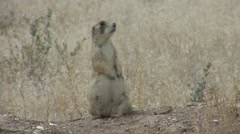 White-tailed Prairie Dog Female Alarmed Spring Lactating Stock Footage