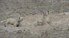 White-tailed Prairie Dog Young Pair Spring Stock Footage