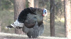 Turkey Male Adult Lone Breeding Spring Masturbating Stock Footage