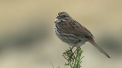 Song Sparrow Adult Lone Spring - stock footage