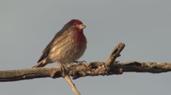 House Finch Male Lone Spring Stock Footage