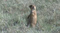 Utah Prairie Dog Alarmed Spring Stock Footage