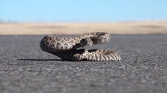 Rattlesnake Young Lone Summer Road Highway Coiled Stock Footage