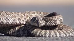 Rattlesnake Young Summer Closeup Stock Footage