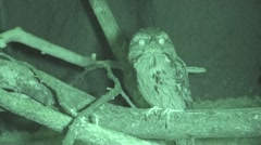 Tawny Frogmouth Lone Night Infrared Stock Footage