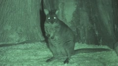 Parma Wallaby Night Infrared - stock footage