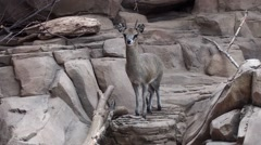 Klipspringer Lone Stock Footage