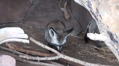 Bat-eared Fox Pair Stock Footage