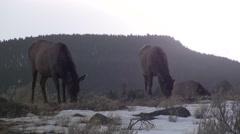Elk Adult Several Feeding Winter Ground Level Stock Footage