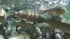 Rainbow Trout Spring Underwater Stock Footage