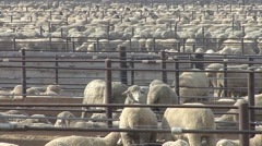 Land Use  Spring Sheep Feedlot Domestic Agriculture Zoom Out Stock Footage