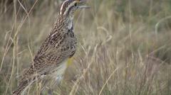 Western Meadowlark Lone Calling Spring Stock Footage
