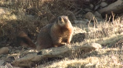 Yellow-bellied Marmot Lone Alarmed Summer Stock Footage