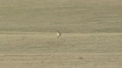 Pronghorn Antelope Summer Stock Footage