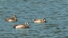 Blue-winged Teal Drake Hen Several Summer - stock footage