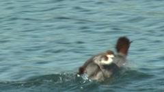 Common Merganser Hen Adult Chicks Family Alarmed Summer - stock footage